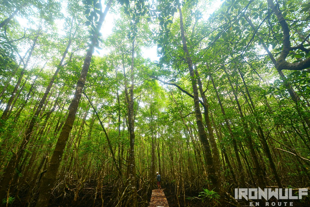 The San Roque Giant Mangrove boardwalk