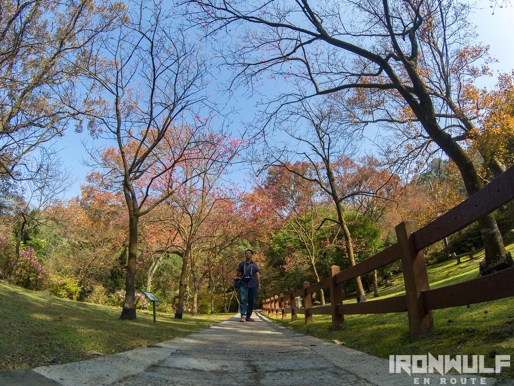 Cherry blossom lane at Yangming Park